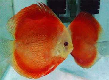 红色<a href=http://www.ydqmcy.com/kywp/yg/192.html target=_blank class=infotextkey>神仙鱼</a>